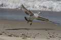 Seagull Landing Royalty Free Stock Photo