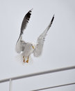 Seagull landing on a boat railing Royalty Free Stock Photo