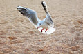 Seagull is landing Royalty Free Stock Photo