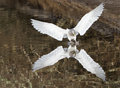 Seagull landing Royalty Free Stock Photo