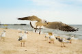 Seagull landing on the sand. Royalty Free Stock Photo