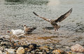 Seagull Landing and Squawking Royalty Free Stock Photo