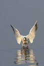 Seagull landing on water Royalty Free Stock Photo