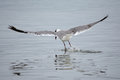 Seagull landing in water Royalty Free Stock Photo