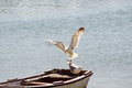 Seagull on landing Royalty Free Stock Photo