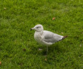 Seagull at the Liberty Island