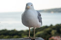 Seagull look in to camera Royalty Free Stock Images