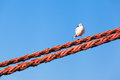 Seagull looking left down bird sitting at a thick rope blue sky background Royalty Free Stock Images