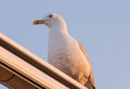 Seagull a on the lookout for dinner Stock Photography