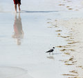 Seagull and man on the beach a walks in front of a running Royalty Free Stock Photography