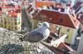 Seagull is in the Old Town of city Tallinn, Capital of Estonia Royalty Free Stock Photo