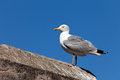 Seagull On Old Wall Royalty Free Stock Photo