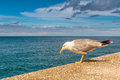 Seagull one side view nature concept Royalty Free Stock Images
