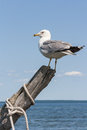 Seagull perched on driftwood on georgian bay Stock Photography