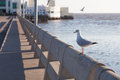 Seagull perched on the railing. Royalty Free Stock Photo