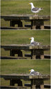 Seagull on picnic table collage three image of a lone a Stock Images