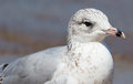 Seagull at pinery provincial park close up of a ontario canada Royalty Free Stock Photo