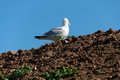 Seagull in Port Isaac Stock Photos