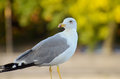Seagull portrait Royalty Free Stock Photo