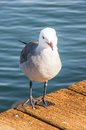 Seagull portrait on a wooden pier Royalty Free Stock Photos
