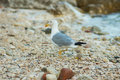 Seagull posing on gravelly beach Stock Photo