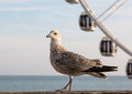 Seagull on promenade in brighton large brown speckled with the wheel out of focus the background Royalty Free Stock Photos