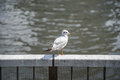 Seagull on railing near the river Royalty Free Stock Photo