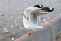 Seagull ready to take off at the stone pillar Royalty Free Stock Image