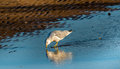 Seagull Reflections Royalty Free Stock Photo