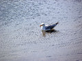 Seagull resting Royalty Free Stock Photo
