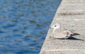 Seagull resting by the water Royalty Free Stock Photo