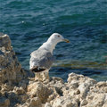 Seagull on the rock Stock Image