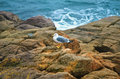 Seagull on the rock in front of the black sea Stock Photography