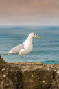 Seagull a on a rock overlooking the oregon coast Stock Photography