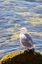 Seagull on rock sea water near beautiful colors algae sunny day Stock Photos