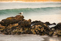 Seagull rocks sea stands on by on beach near cape town south africa Royalty Free Stock Images