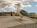 A seagull in rome proud with blue eyes photographed italy Stock Photo