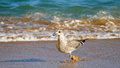 Seagull running closeup with ocean background Royalty Free Stock Photo