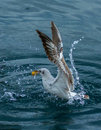 Seagull`s fight for food Royalty Free Stock Photo
