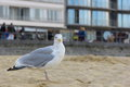 Seagull in the sand on the shore of north sea with blurry people in the back Stock Photography