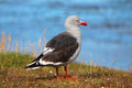 Seagull with the sea in the background patagonia Royalty Free Stock Photography