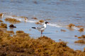 Seagull in seaweed single standing surf surrounded by at corpus christi texas Stock Images
