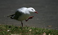 Seagull a on the shore looking for food new zealand Stock Image