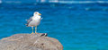 Seagull by the shore on a rock Royalty Free Stock Image