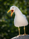 Seagull shout call white bird with opened beak Stock Images