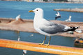 Seagull sits on railing. Royalty Free Stock Photo