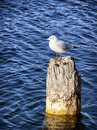 Seagull sitting on an old bollard Royalty Free Stock Images
