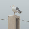 The seagull sitting on a stone column in the fog in cascais Stock Photos