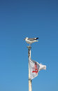 Seagull sitting on top of boat with Golden Gate Bridge flag Royalty Free Stock Photo