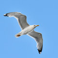 Seagull in the sky blue Royalty Free Stock Photo